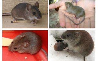 Māju peles