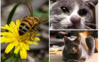Ko darīt, ja kaķi sakosies ar bišu