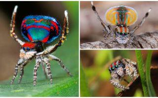 Pāvesta zirnekļa apraksts un fotogrāfija