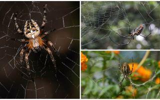 Vai zirnekļi zina, kā lidot