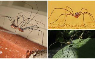 Spider Mastard ar garām plānām kājām