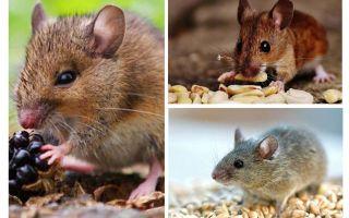 Kādas peles ēd