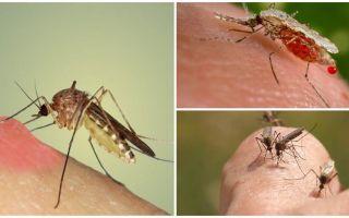Kāpēc odi dzer asinis