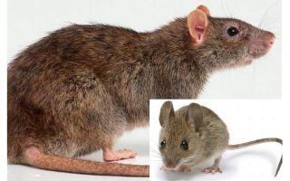 Kāda ir atšķirība starp peli un žurku?