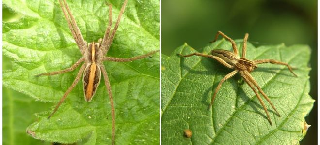 Saratovas reģiona zirnekļu apraksts un fotogrāfijas