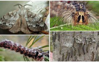 Sibīrijas zīdtārpiņa kāpurķēžu un tauriņu apraksts un fotogrāfija