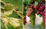 Kā tikt galā ar laputīm uz vīnogu tautas un iepirkšanās līdzekļiem
