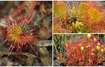 Lidojošo augu nosaukums, apraksts un fotogrāfija