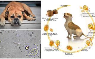 Giardia simptomi un ārstēšana suņiem