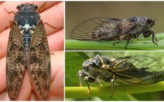 Cicada lidojumu apraksts un fotogrāfijas