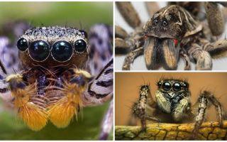 Cik acīm ir zirneklis