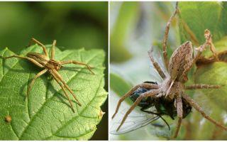 Cik daudz parasto zirnekļu dzīvo dzīvoklī un dabā