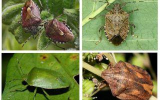 Dārza bugs