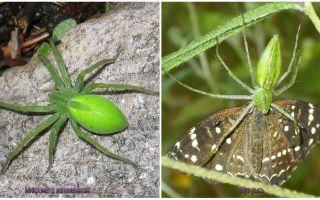Zaļie zirnekļi Krievijā