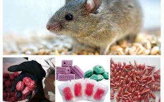 Indes žurkām un pelēm
