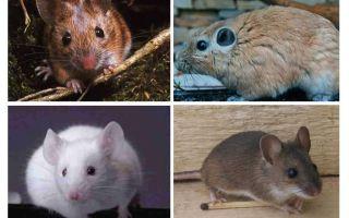 Lielākā pele pasaulē