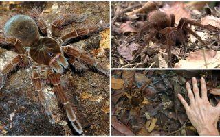Goliath putnu zirnekļa apraksts un fotogrāfija