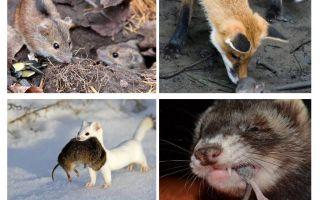 Kas ēd peles