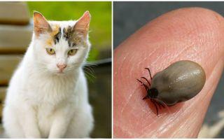 Ko darīt, ja kaķis sakos ar ķeksīti