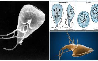 Guma slimība pieaugušajiem - simptomi un ārstēšana