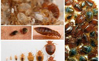 Ko un kā apstrādāt drēbes un lietas no bedbugs