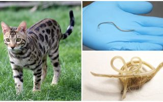 Simptomi un ascariasis ārstēšana kaķiem