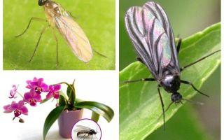 Ko darīt, ja midges tiek audzēti orhidejās