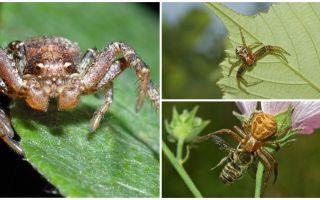 Krabju zirnekļa (bez izometriskā bokhoda) apraksts un fotoattēls