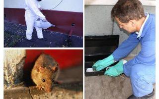 Žurkām un pelēm iznīcina specializēti dienesti