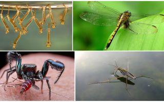 Kas ēd odi