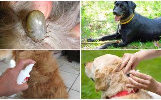 Labākās zāles suņiem no ērcēm un blusām