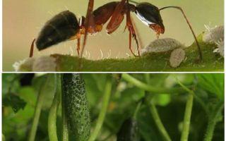 Kā rīkoties ar skudras dārzā ar gurķiem