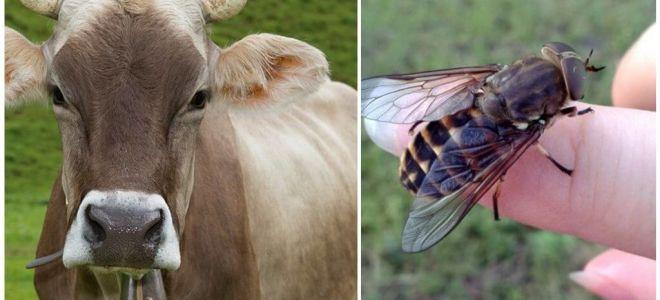 Kā mājās ārstēt govis no sīkfailiem un gadflies