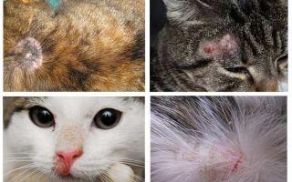Kāpēc kaķis nieze, ja nav blusu
