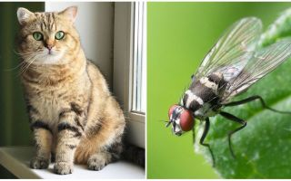 Ko darīt, ja kaķis vai kaķis ēda lidojumu