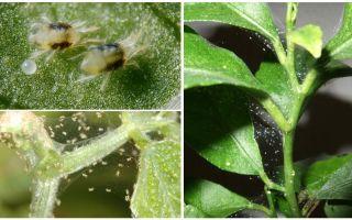Kā atbrīvoties no zirnekļu ērcītēm iekštelpu augos