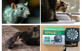 Kas ir žurkas un peles?