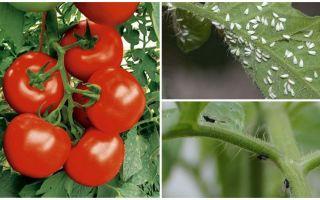 Kā apstrādāt tomātus no baltajiem un melnajiem mušiņiem