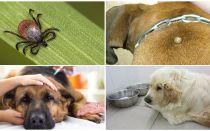 Simptomi un piroplazmozes ārstēšana suņiem